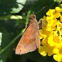 Brown Moth - Lerema accius