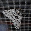 Moth species - Phigalia denticulata