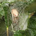 Zygiella in retreat - Zygiella atrica