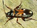 Dirt-colored Seed Bug - Raglius alboacuminatus