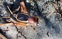 cricket, perhaps in the genus Pictonemobius - Pictonemobius - male