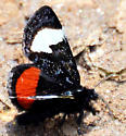 Moth with red and white patch kent - Psychomorpha epimenis - male
