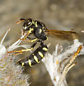 High Elevation Pollen Wasp - Pseudomasaris zonalis - female
