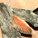 Newly eclosed adult - hind wing view - Erinnyis obscura