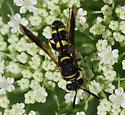 Chalcid Wasp-Leucospis - Leucospis affinis