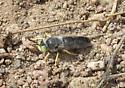 Green-eyed Fly? - Bembix amoena - male