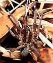 Hogna lenta or H. antelucana? - Hogna lenta