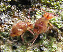 Dicyrtoma possibly-undescribed: side and back legs - Ptenothrix undescribed - male - female