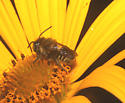 Megachilidae, lateral - Megachile mendica - male