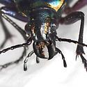 Fiery Searcher - Calosoma scrutator