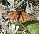 Battleworn Monarch - Danaus plexippus