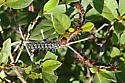 black and white caterpillar - Datana major