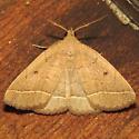Zanclognatha sp. - Zanclognatha