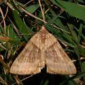 Clover Looper Moth For Illinois In July - Caenurgina crassiuscula