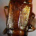 Trigonurus crotchi (LeConte) - Trigonurus crotchi