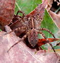 wolf spider - Tigrosa georgicola