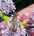 Callimoxys fuscipennis? - Callimoxys fuscipennis - male