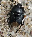Pangaeus bilineatus (?) - Dallasiellus