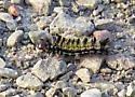 unidentified caterpillar640 - Ctenucha virginica