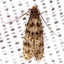 Homosetia Moth - Homosetia bifasciella