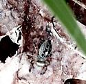 Non-Flower vegetation 5 - Phidippus putnami
