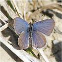 Group: Blues - Cupido amyntula