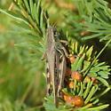 Red-legged grasshopper - Melanoplus femurrubrum - female
