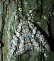 Catocala retecta - Hodges #8788 - Catocala retecta-luctuosa