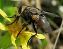 pollinator - Archytas marmoratus
