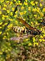 Dark paper wasp variation? - Polistes aurifer