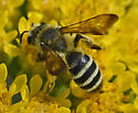 Bee 619A 6017 - Andrena