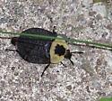 Carrion Beetle? - Necrophila americana