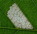 Rectangular leaf mine on American Elm - Coleophora