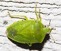 2018-08-14 Green stink bug