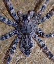 Fishing spider? - Dolomedes tenebrosus