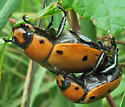 Grapevine Beetle - Pelidnota punctata - male - female