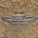 Stenoporpia sp? - Stenoporpia insipidaria - male