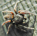 not too small jumper - Phidippus princeps