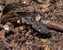 One-spotted Tiger Beetle? - Apterodela unipunctata