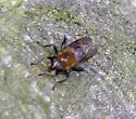 Syrphid Fly - Brachypalpus alopex