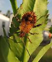 Spikey Bug - Euthochtha galeator
