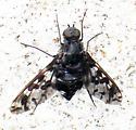 Requesting Diptera ID - Xenox delila