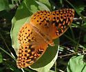 GS Fritillary - Speyeria cybele - male