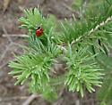 Balsam Twig Aphid - Mindarus abietinus