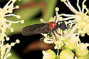 Fly - Dilophus