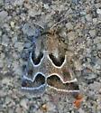 Moth - Schinia rivulosa
