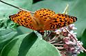 Orange Butterfly - Speyeria aphrodite - male