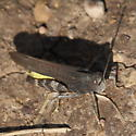Boulder trail hopper 3 - Arphia conspersa - male