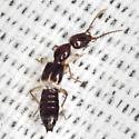 Rove Beetle - Scopaeus