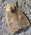 noctuid 1 - Ipimorpha pleonectusa